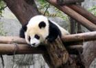 パンダ繁育研究基地
